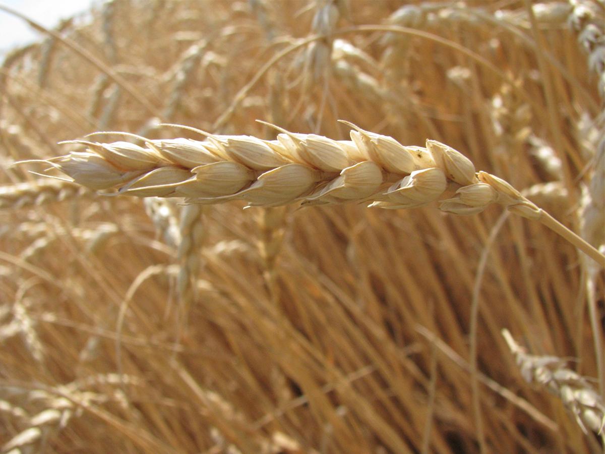 Staple food of Canada Wheat