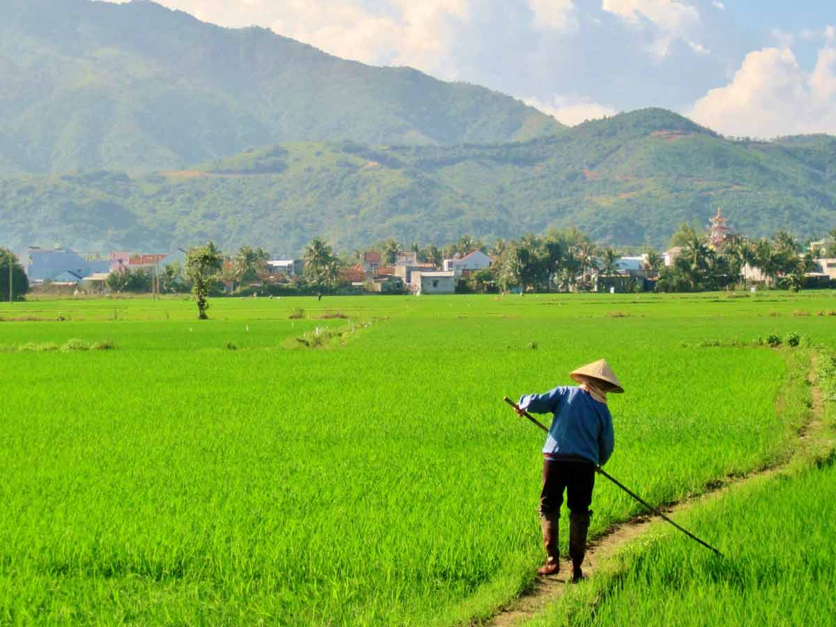 rice production in vietnam