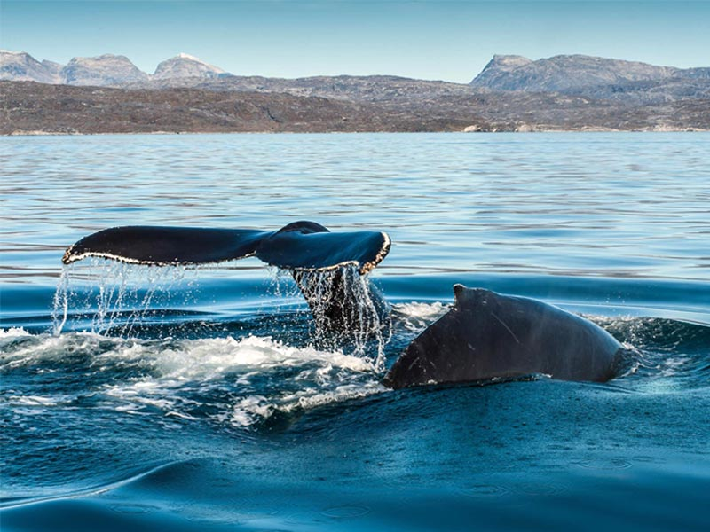 whale watching in greenalnd